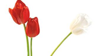 Drei Tulpen auf weißem Untergrund.jpg