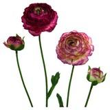 Ranunkel Elisa Purple - Hellrosa/Dunkelrosa, Basics, Kunststoff/Textil (40cm)