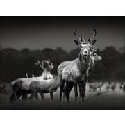 Keilrahmenbild Herd Of Deer - Schwarz/Grau, Basics, Holzwerkstoff (77/57/2cm)